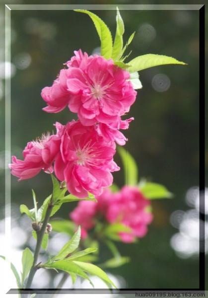 引用 欣赏美丽的桃花(原创摄影) - yuzongxuan2008 - yuzongxuan2008的博客
