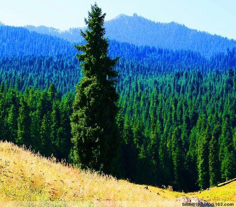 望天之树——雪岭云杉 - billbill163 - billbill163的博客