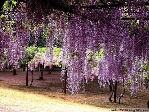 [原]紫藤架下的美丽 - ヾ潇潇ヾ  - 潇潇紫梦园