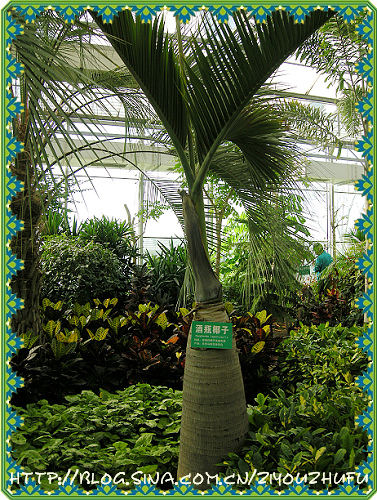 酒瓶椰子树