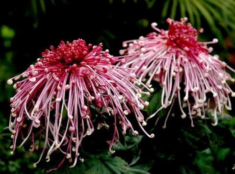 夜色里的菊花 (疏勒河的红柳原创) - 疏勒河的红柳 - 疏勒河的红柳