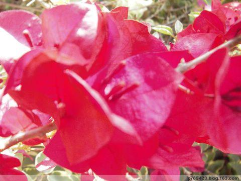 記錄三角梅的花 - jp765423 - jp765423的博客