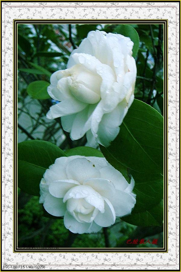 [原]花卉摄影:《茶花》 - 巴陵散人 - 巴陵散人影室