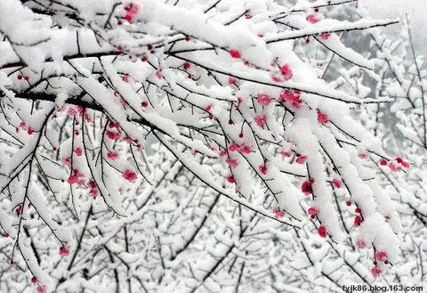 诗歌:咏梅 - 草根 - 草根馨园