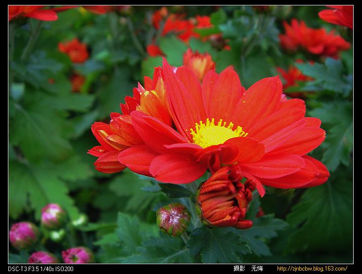 引用 [原创摄影]菊花盛开 - pinpinanan2008 - pinpinanan2008 的博客