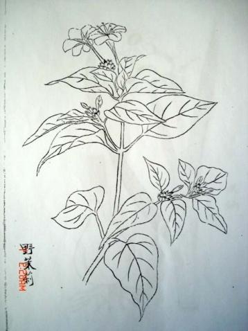 紫茉莉简笔画