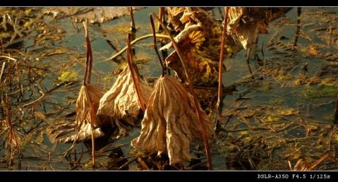 原创摄影】秋风萧瑟天气凉,草木摇落露为霜  - 舞韵轩主 - 舞韵轩主