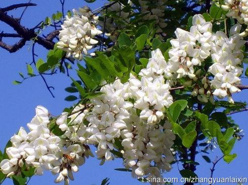 槐花的季节 - 黎明 - 明明