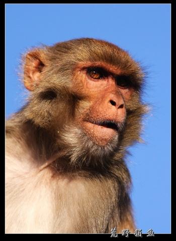 尼国行散记之 猴庙里的大圣们 - 荒野狷鱼 -      荒野狷鱼的博客