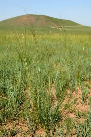 那片针茅覆盖的草原(正式发表配图版) - 金仕并 - 三姓学奴网志