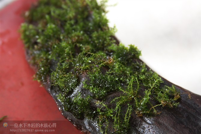 美国凤尾苔,翡翠珍珠苔绑沉木方法 - 水下李木匠 - 印水族设计造景--李木匠个人心得