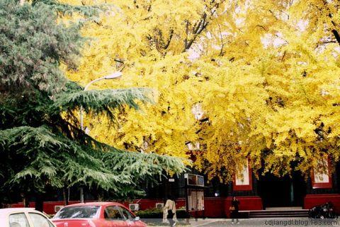 川大校园觅银杏 - 西地笺儿 - 健康和摄影-西地笺儿的博客
