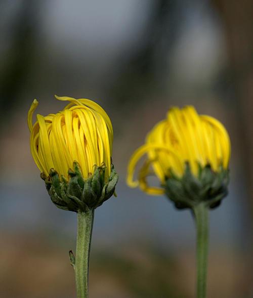 【原创图文】菊展撷英 - 谷风 - 如此多娇
