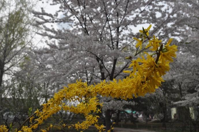 玉渊潭的樱花(之二) - 陶东风 - 陶东风