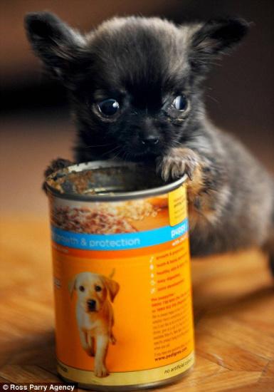 世界最小的狗(图文) - 渴望美好 - 渴望美好的百科精品博客(免费学习娱乐)
