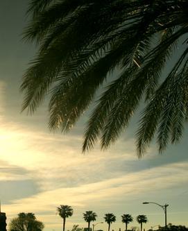 暮色下的棕榈树(照片)