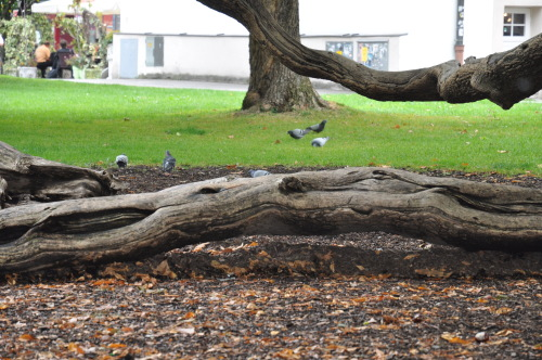 萨尔斯堡的古树犹如活的根雕 - 陶东风 - 陶东风