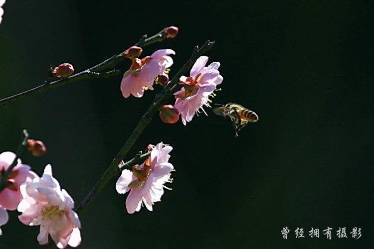 (原创摄影)   萝岗香雪公园---蜂醉梅香 - 曾经拥有 - 我的摄影花园