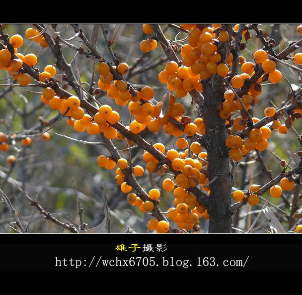 【原创摄影】照亮山野的秋果果 - 雄子 - 雄子言语
