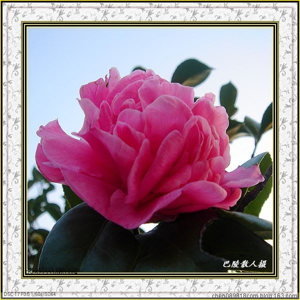 [原]花卉摄影:飘香送艳春多少《山茶花》34p - 巴陵散人 - 巴陵散人影室
