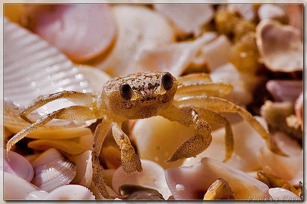 [原创]小沙蟹 - Cheni - Cheni的蝴蝶馆