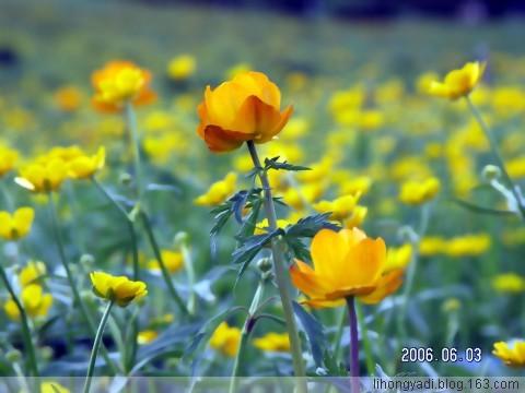 (疏勒河的红柳)绽放诗歌四段情 - 疏勒河的红柳 - 疏勒河的红柳