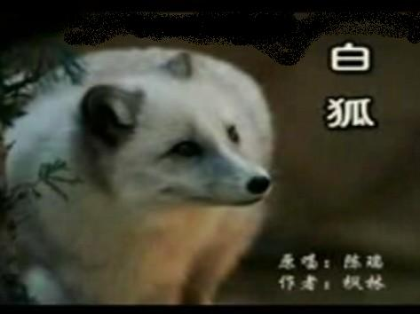 """听""""白狐""""有感------白狐背后的感人故事 - 孺子牛 - 年轮兮老者、博客矣犊仔"""