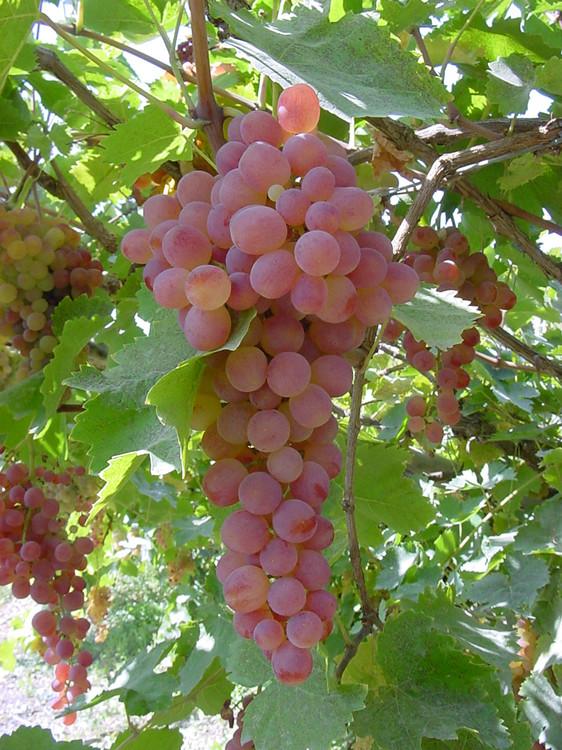 洋葱 葡萄酒的妙用效果惊人 - 晶莹 - 晶莹花园