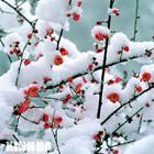 腊梅花(转载) - 幽兰 - 冰清玉洁