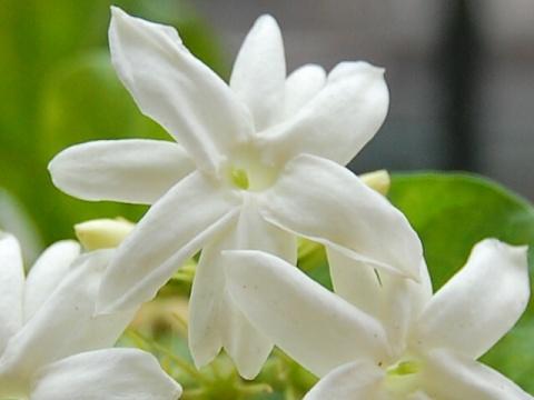 茉  莉  花 - 雪痴 - 暮春的野蔷薇