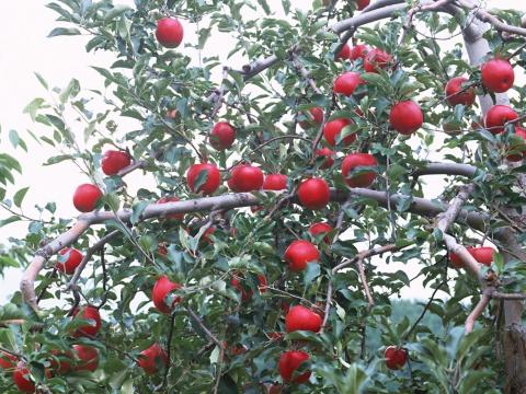 原创与苹果有关的记忆[图文] - 微尘 - 消化百味  享受快乐