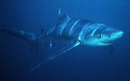 【引用】鲨鱼详解与分类一 - 夏晓阳 - 易经股市应用研究轩