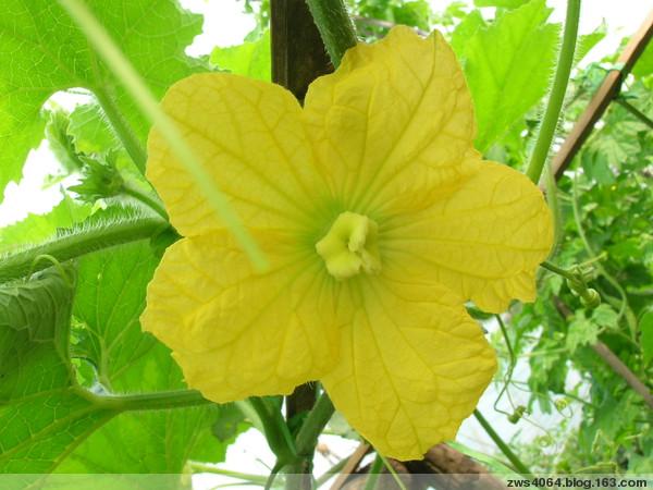 蔬菜花儿也美丽(三) - 农夫老黑 - 农夫老黑