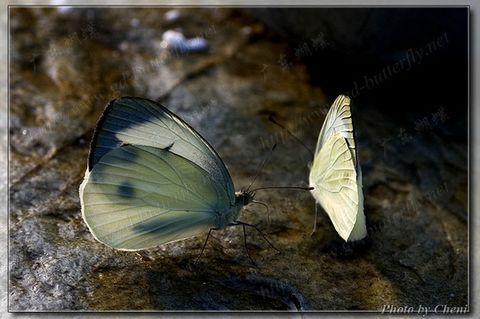 淡装素雅-粉蝶 - Cheni - Cheni的蝴蝶馆