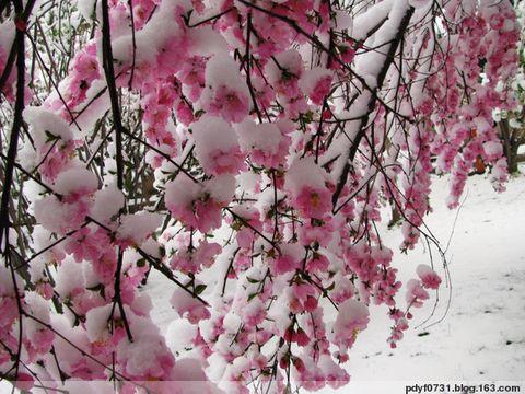 瑞雪压枝头,娇花俏争春 - 798DIY - 798 DIY