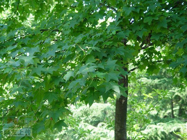 常见园林绿化植物图片 - 福清二中生物组的日志 - 网易博客 - 林木种苗 - 河南洛阳嵩县绿源绿化种苗科研有限公司
