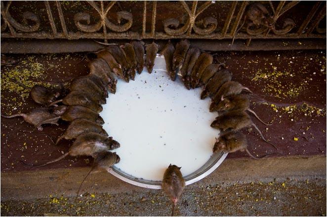 [原]色彩印度(07)· 鼠!鼠!鼠! - Tarzan - 走过大地