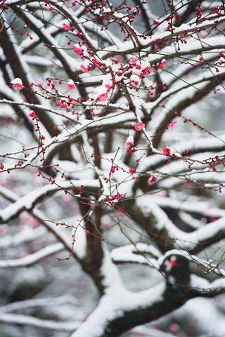 雪拥梅枝兆养生    - 蒙 恩 - 杨益华