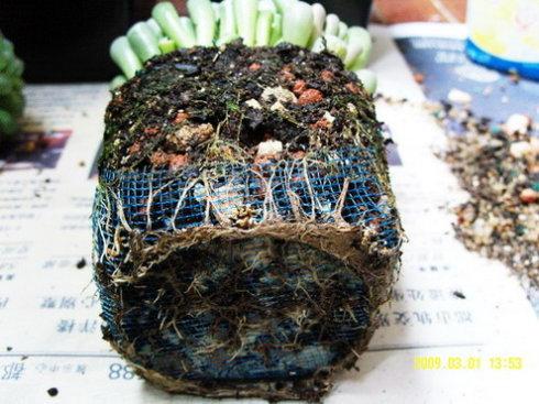 多肉类植物的换盆过程 - 百草堂 - 百草堂