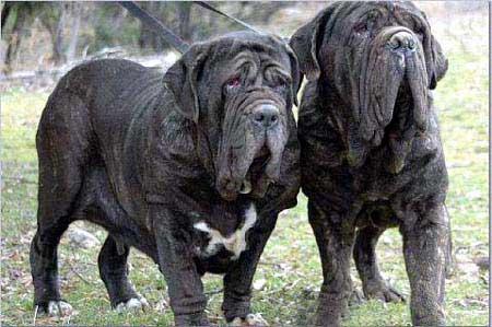 世界十大最凶悍名犬排行 - 水映落叶 - 水映落叶