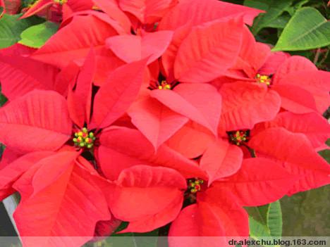 288. 人称圣诞花的〔一品红〕〔辑录重写〕 - 惜花者、识花人 - dr.alexchu的博客