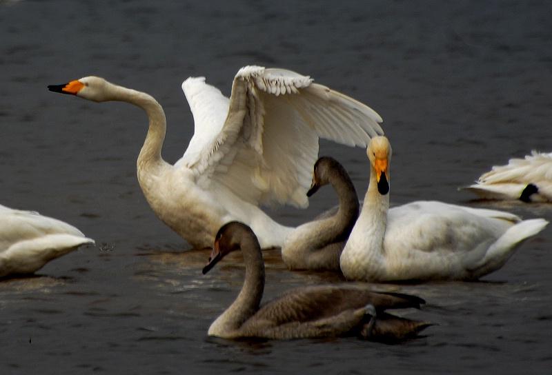 [原创摄影]快乐天鹅 - 无忌色影 - 行行摄摄