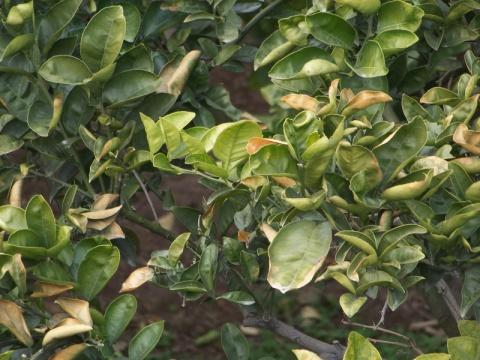 柑橘专家来我市调查温岭高橙受冻情况 - 清扬 - 花果飘香