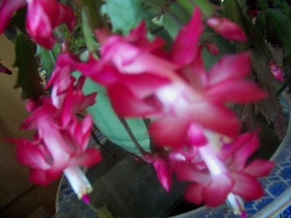 蟹爪兰花开 - 瘦石访竹    - 相约在冬季
