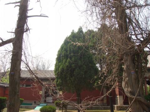 岱庙十大名木(原) - 云在西天 - tsli的博客