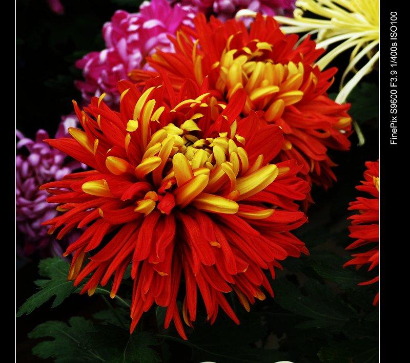 菊花花卉集景 - 红叶风萧萧  - 红叶风萧萧