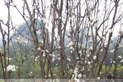 梨 花 带 雨(图文)[原创] - 岁月无痕 - 岁月无痕