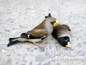 雄鸟死亡 雌鸟哀伤守护