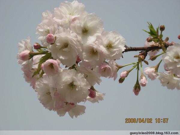 樱 花(照 片 配 诗) - 秋水长天 - 秋水长天欢迎您的到来