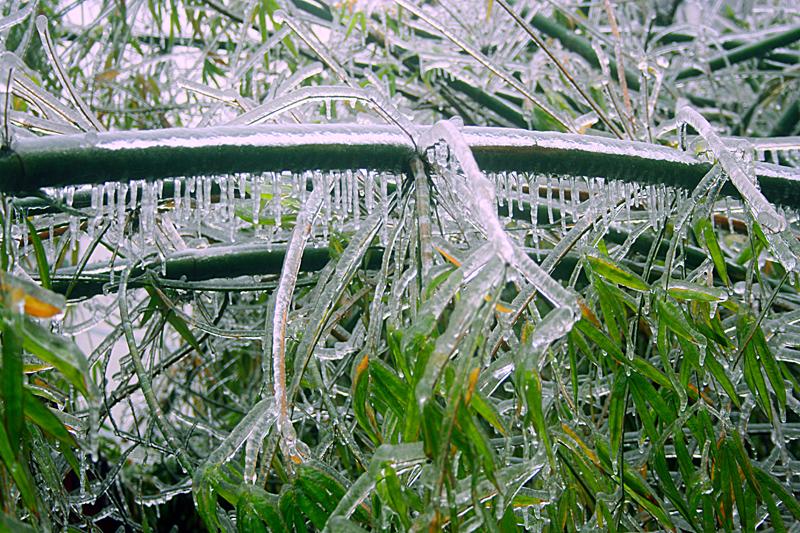 [原创]冰中竹——冰灾记忆之十一 - 歪树 - 歪树